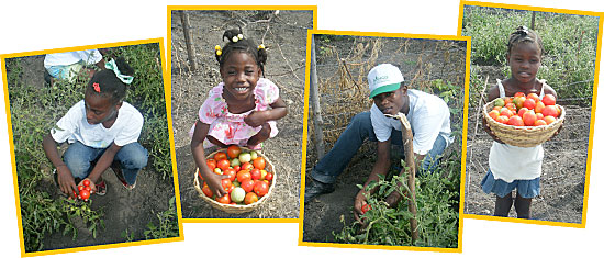 Children harvesting tomatoes.