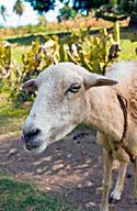 A goat in Haiti