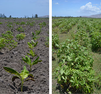 Plantain and Cassava