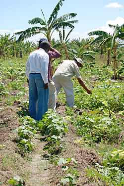 Studying Crops in Haiti